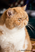 Portrait of a purebred Exotic Shorthair domestic cat, Smush.