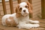 Portrait of Mandy, a female Cavalier King Charles Spaniel puppy, at 11 weeks old, lying on a wooden bench