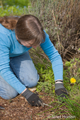 Woman using a weed digging tool to remove weeds from dandelions, bluegrass and weeds from her weedy garden