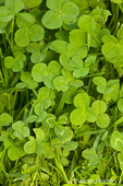 Red Clover leaves in a backyard lawn