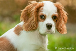 Cavalier King Charles Spaniel, Mandy, 4 months old, sitting in her lawn