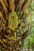 Attalea speciosa (babassu, babassu palm, babaçu, cusi) is a palm native to the Amazon Rainforest region in South America.