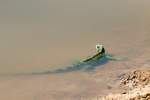 Green Iguana in the shallows of a river