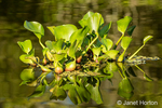 Common water hyacinth floating in the rivers and marshlands