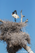 Jabiru preening in its large nest high in the top of a dead tree