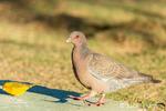Picazuro Pigeon and Saffron Finch at a ground birdfeeder
