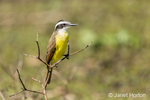 Lesser Kiskadee perched in a low shrub