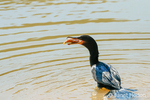 Neotropic Cormorant trying to eat a small fish