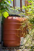 Rainwater is collected in these barrels and then used to water the garden