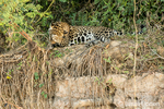 Jaguar looking shy as he covers his face while cleaning his paws in the heat of mid-day on a riverbank