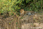 Jaguar cleaning his paws while he relaxes in the heat of mid-day on a riverbank