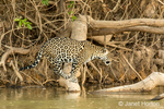 Jaguar looking for caiman to catch as he sits on a fallen tree along a riverbank