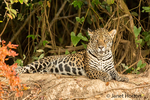 Jaguar resting on a riverbank