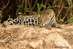 Jaguar resting on a riverbank