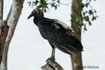 Black Vulture perched in a dead tree near a river