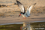 Black Skimmer with its wings up getting ready to take off along the riverbank
