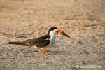 Black Skimmer standing on the riverbank, clearly showing the lower mandible longer than the upper