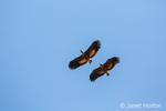 Two Black-Collared Hawks flying
