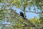 Male Black Howler Monkey sitting in a tree