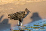 Black Vulture standing on the sandy riverbank of the Cuiaba River