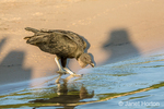 Black Vulture on the sandy riverbank about to drink from the Cuiaba River