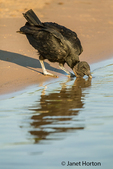 Black Vulture on the sandy riverbank drinking from the Cuiaba River