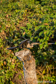 Anhinga about to take flight along the Cuiaba River
