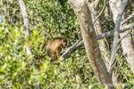 Female Black Howler Monkey and baby