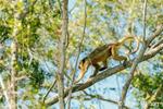Female Black Howler Monkey