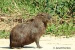 Adult Capybara sitting on a sandy beach along the Cuiaba River