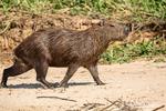 Adult Capybara walking on a sandy beach along the Cuiaba River