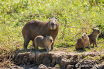 Portrait of a mother Capybara and her young on the riverbank of the Cuiaba River
