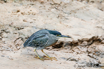 Striated Heron walking on the riverbank of the Cuiaba River, looking for food