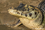 Yacare Caiman with a closed mouth sunning itself in the Cuiaba River