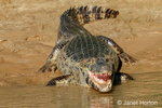 Yacare Caiman with an open mouth sunning itself in the Cuiaba River