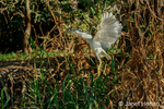 Black-Crowned Night Heron landing in a tree along the Cuiaba River