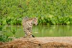 Jaguar deciding to change directions on a sandbar on the Cuiaba River