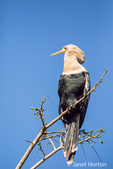 Anhinga perched in a tree in the Pantanal region, Mato Grosso state, Brazil, South America