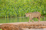 Jaguar walking on a sandbar on the Cuiaba River