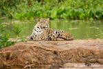 Jaguar resting on a sandbar along the Cuiaba River