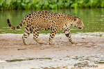 Jaguar walking on a sandbar on the Cuiaba River