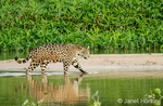 Jaguar wading in shallow water as it crosses between sandbars on the Cuiaba River