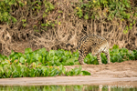 Jaguar deciding to change directions on a sandbar on the Cuiaba River