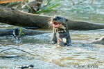 Giant River Otter eating a fish in the Cuiaba River