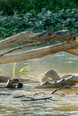 Two Giant River Otters eating fish in the Cuiaba River