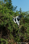 Cocoi Heron taking off from a tree along the Cuiaba River