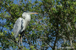 Cocoi Heron perched in a tree along the Cuiaba River