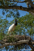 Jabiru standing in its large nest high off the ground along the Cuiaba River