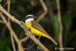 Lesser Kiskadee perched in a shrub in the Pantanal region