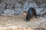 Giant River Otter standing on the Cuiaba riverbank